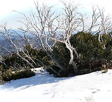 phoenix snowgums by jayview