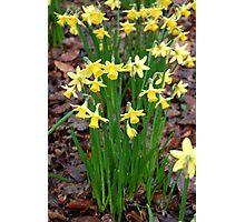 Daffodils in Ireland Photographic Print