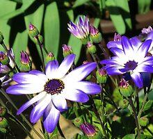 Senetti Planter (Cineraria) by kathrynsgallery
