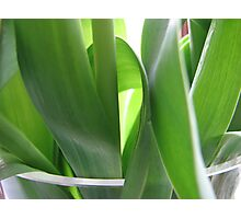 Leaves of tulips Photographic Print