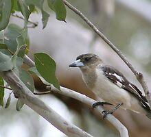 Australian - Butcher Bird by Veilstreasures