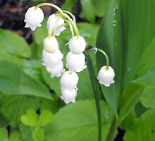 Lily of the Valley by katpix