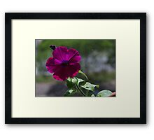 Petunia on screen Framed Print
