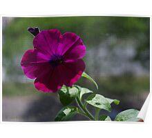 Petunia on screen Poster