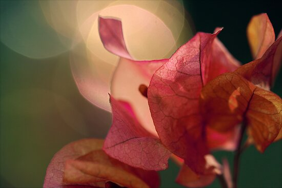 Bougainvillea Bokeh by micklyn