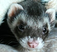 My Ferret Panda... by LeahsPhotos