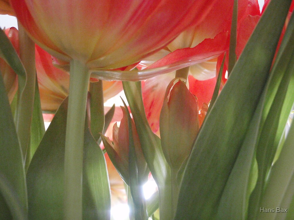 Red tulips by Hans Bax