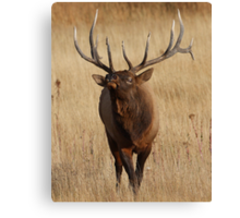 Elk Charging Canvas Print