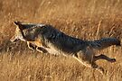 Coyote Action by William C. Gladish