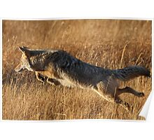 Coyote Action Poster