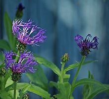 Cornflowers by Paola Svensson