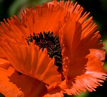 Oriental Poppy Orange Poppy by LudaNayvelt