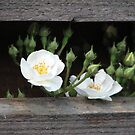 White little roses by Hans Bax