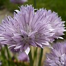 Chives in Bloom by Veronica Schultz