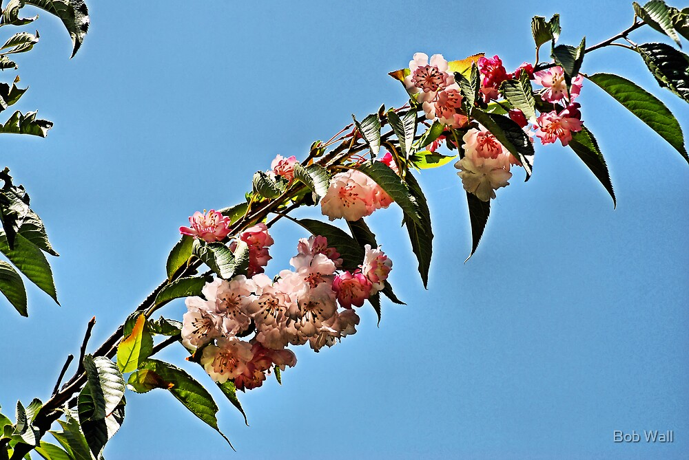 Overhead Blossoms by Bob Wall