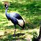 Crested Crane by Landscapes Mainly .