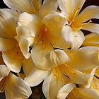 Plumeria by Jan  Wall