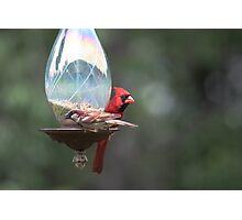 Cardinal and sparrow Photographic Print