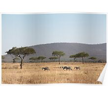 Plains Zebra, in the landscape, Serengeti National Park, Tanzania Poster