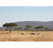 Plains Zebra, in the landscape, Serengeti National Park, Tanzania Photographic Print