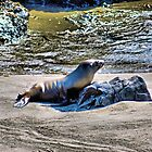 Lonely Sealion by Bob Wall