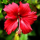 Hibiscus in Red #1 by Carole-Anne