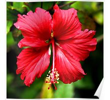 Hibiscus in Red #1 Poster