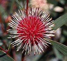 Pincushion Hakea by Joy Watson