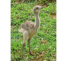 Baby Ostrich Photographic Print