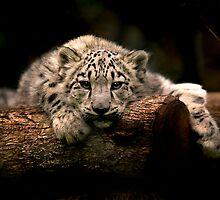 Snow Leopard Cub by Albert Sulzer