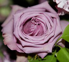 Lavender  by ZeeZeeshots