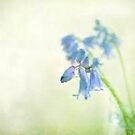 Bluebells by Catherine Hamilton-Veal  ©