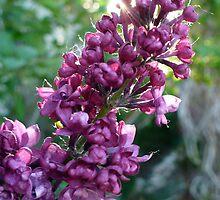 Lilac Dreams by ys-eye