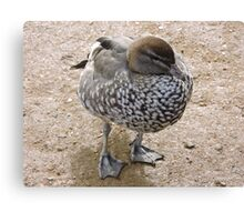Madagascan Teal Duck Canvas Print