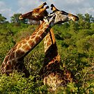 Love is all around (Giraffa camelopardalis) by Deborah V Townsend