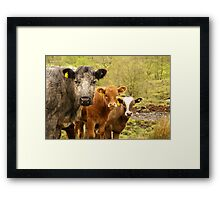 Group of Cows in Scotland Framed Print