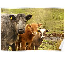 Group of Cows in Scotland Poster
