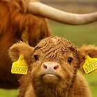 Babycow from Scotland Highlands by Sturmlechner