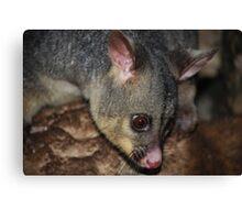 Plump possum Canvas Print