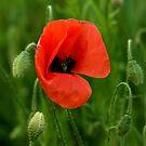 Summer Poppy by ©FoxfireGallery / FloorOne Photography
