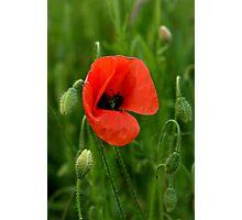 Summer Poppy Photographic Print