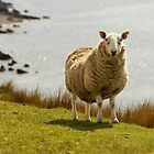 Scotland Sheep at the Beach by Sturmlechner