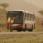 Camel crossing by Sturmlechner