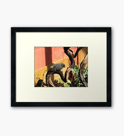 Silvery Marmoset Framed Print
