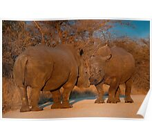 Rhino faceoff, Kruger National Park, South Africa Poster
