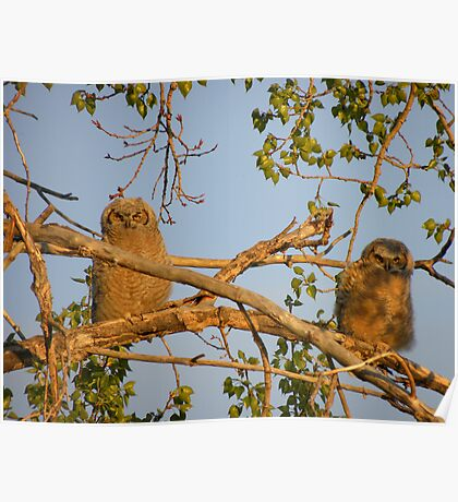Sun Tanning Owlets  Poster