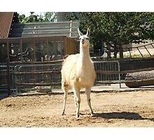 Silly Lama Photographic Print