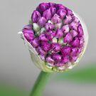 Ornamental Onion- Budding by Tracy Wazny