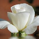White Rose by Pat Moore