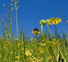 Buttercups and a bee by Confundo